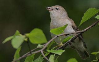 Flickr_-_Rainbirder_-_Garden_Warbler_(Sylvia_borin)