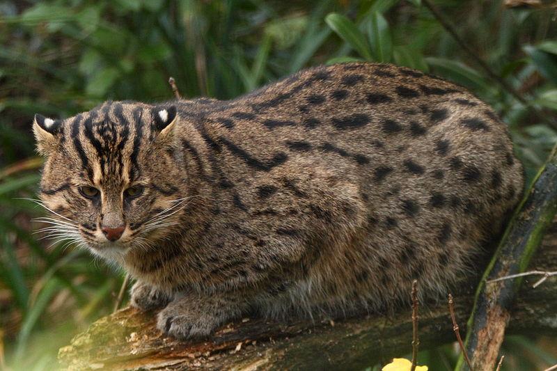 800px-Fishing_cat_(4127540332)_(2)