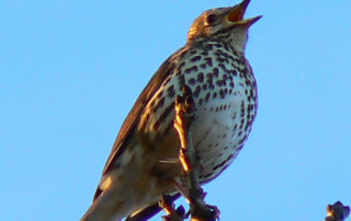 songthrush-via-brian-robert-marshall