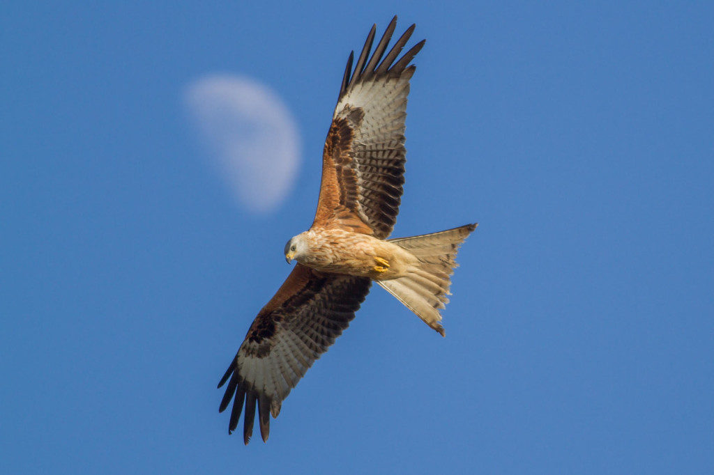 Red Kite Steve Nesbitt