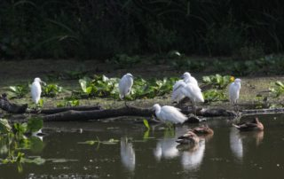 Little Egret flock Ornamental