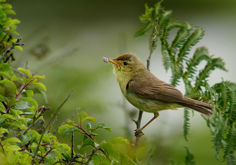 800px-Melodious_warbler_(Hippolais_polyglotta),_Le_Petit_Loc'h,_Guidel,_Brittany,_France_(19765512360)