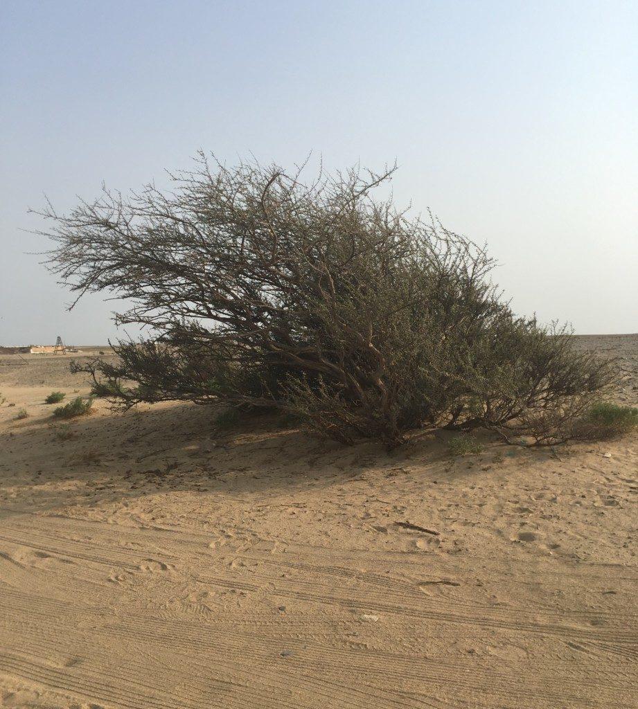 Bird bush Saudi