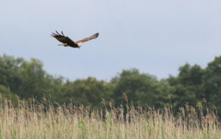 Marsh_harrier_(Circus_aeruginosus)_female