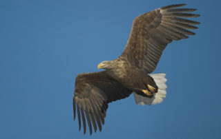 white-tailed-eagle-620_413