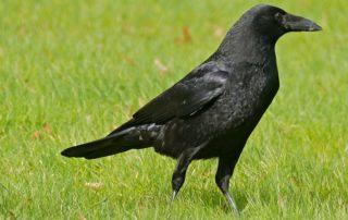 Carrion_Crow_(Corvus_corone)_(25657205900)