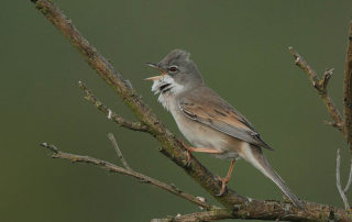 800px-Flickr_-_Rainbirder_-_Common_Whitethroat_(Sylvia_communis)