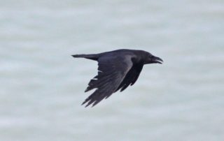 Northern Raven_2828 Isle of Wight 20 April 2011 © Dominic Mitchell