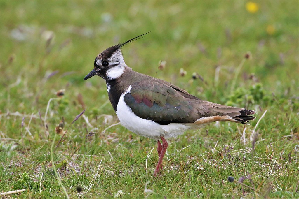 Lapwing Paul Donald