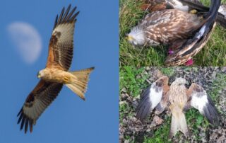 Red Kite visions