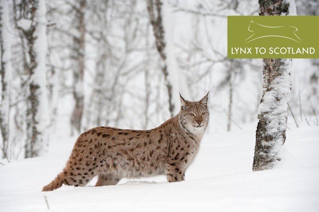 Lynx to Scotland