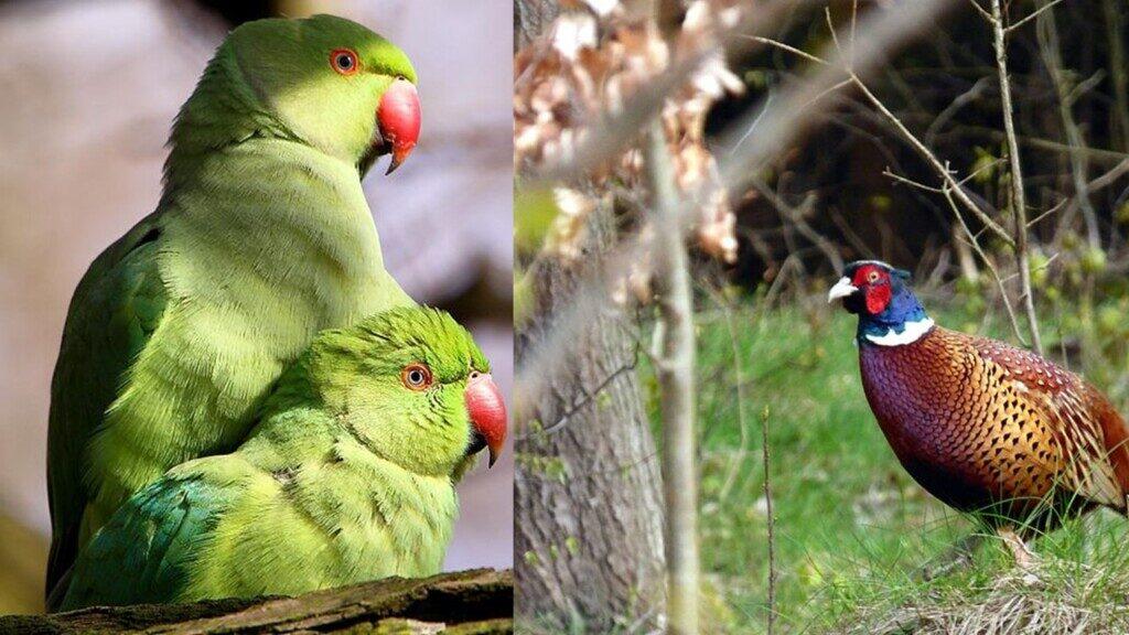 Parakeet and pheasant